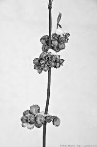 © Pedro Hansson - Winter Flowers against wall - NIkon D7000 - http://www.facebook.com/saarimner
