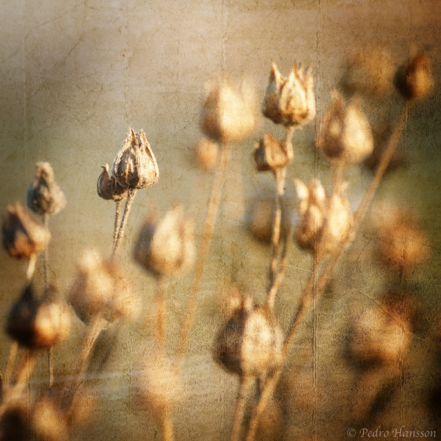 © Pedro Hansson - Winter Flowers