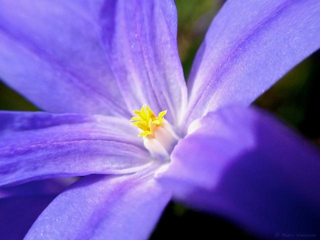 © Pedro Hansson - Flower