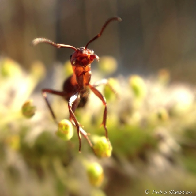 © Pedro Hansson - Ant - iPhone Macro photo taken with Olloclip