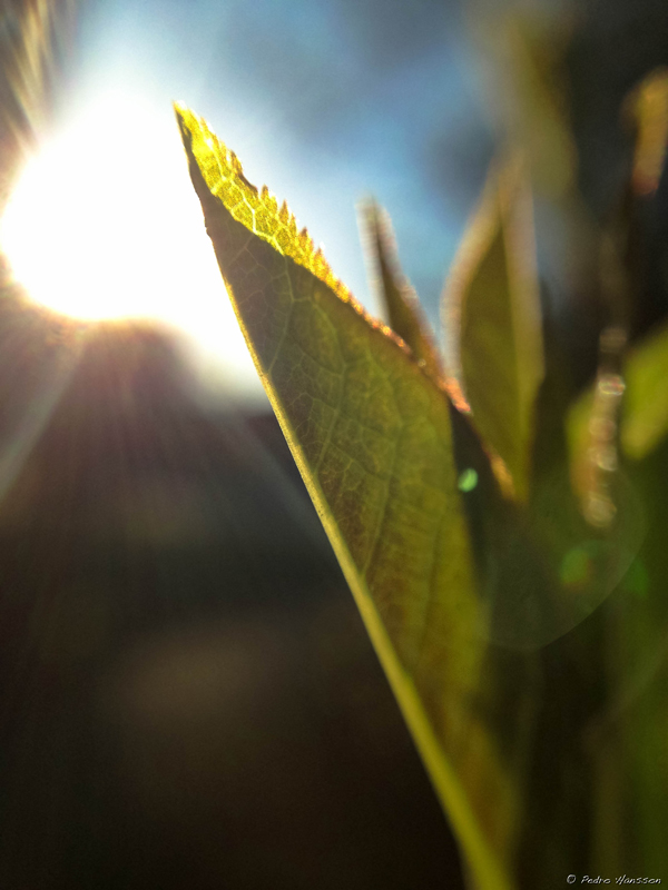 © Pedro Hansson - Leaf - Photo taken with the iPhone 5 and Olloclip lens