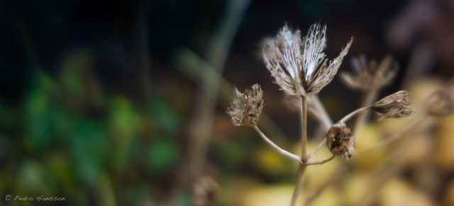 © Pedro Hansson - Silver Flower