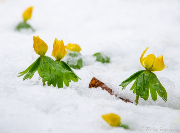 © Pedro Hansson - Flowers fighting in snow