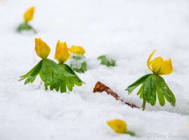 © Pedro Hansson - Flowers fighting in snow